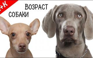 Сколько лет собаке по человеческим меркам: правила подсчёта
