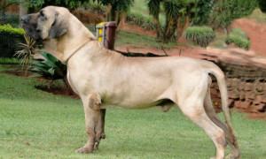 Охранные породы собак; список от больших до маленьких, фото