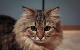 Названы самые популярные породы котов в России