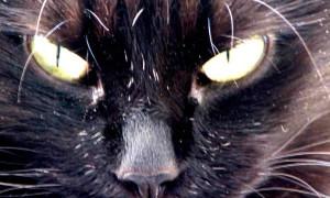 Шантильи тиффани — описание пород котов