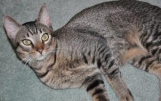 Канаани — описание пород котов