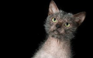 Ликои — описание пород котов