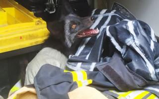 Думали, что собака: спасатели поймали чернобурку, а потом отпустили
