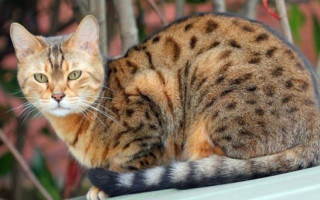Порода кошек Оцикет, описание, характер, цена и преимущества