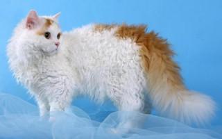Порода Селкирк-рекс – смесь перса, экзота и британца, кошка с миролюбивым характером, описание