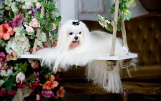 Мальтийская болонка (фото): Белоснежка в собачьем мире