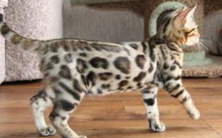 Лучшие породы кошек для детей