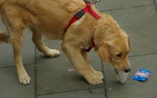 Как отучить щенка подбирать все на улице