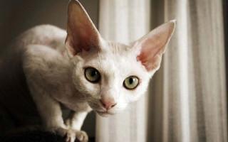 Девон-рекс — описание пород котов