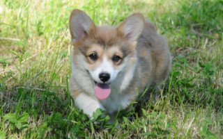 Как гулять с собакой во время течки