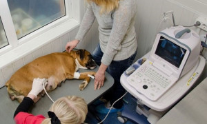 Как понять, что собака беременна