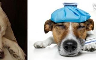 Признаки заболеваний у собак, симптомы и способы лечения