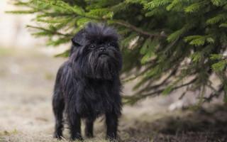 Гипоаллергенные породы собак — Топ-10 с фото