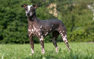 Некрасивые, но такие привлекательные: самые страшные породы собак