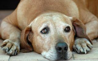 Простатит у собак: симптомы, особенности и лечение в домашних условиях