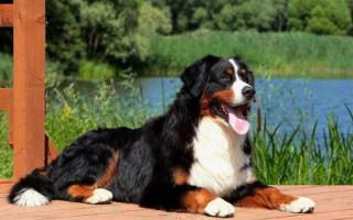 Счастье любит тишину: 10 пород собак, которые мало лают