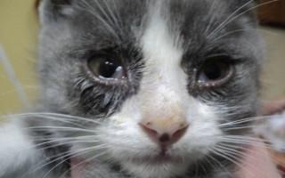 У кошки сильно слезится один глаз или оба глаза