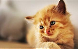 Как выкормить новорожденного котенка?