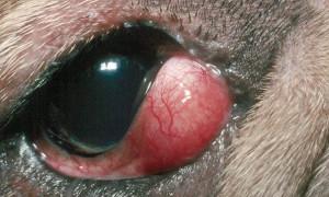 """Синдром """"вишневого глаза"""" у собак"""