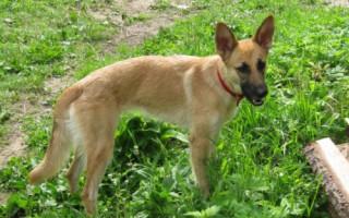 Способы уничтожения чесоточного клеща у собаки