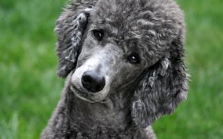 Почему собаки считаются усатиками
