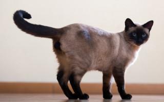 Кошки каких пород смогут ужиться с собакой в одной квартире