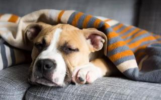 Стафилококк у собак: симптомы, лечение, профилактика