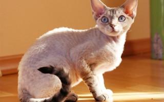Какие кошки характером и поведением сильно напоминают собак