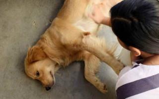 Болевой шок у собак, симптомы болевого шока у собак
