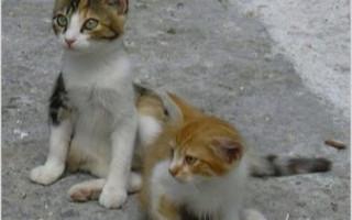 Эгейская кошка: описание породы, характер и уход