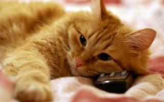 Почему кошки любят смотреть телевизор