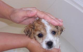 Когда можно купать щенка первый раз без прививок