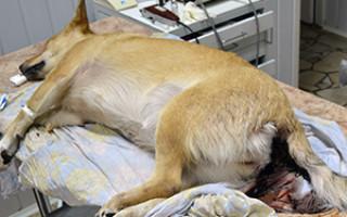 Симптомы и лечение энтерита у собак в домашних условиях