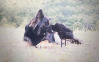 Собака — друг не только человеку, но и утке: фото