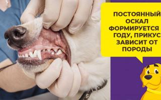 Как ухаживать за щенком, когда у него выпадают молочные зубы