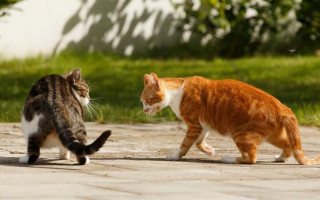 Карбункул (острогнойное воспаление) у кошки