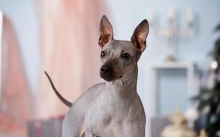 Собака без шерсти; Американский голый терьер