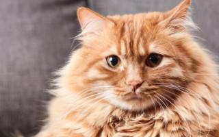 Абсцесс у кошек и котов: признаки и методы лечения нарывов