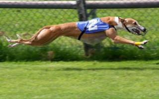 Грейхаунд (фото): кто на свете всех быстрее – не догнать собаку грея!