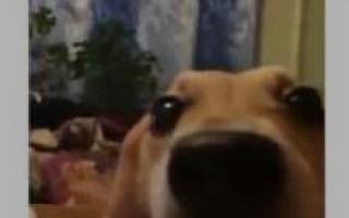 Рычащая собака говорит «ля-ля-ля» — популярное видео