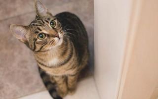 Почему кошка икает и что делать хозяину