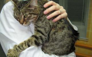 Острый катаральный гастрит у кошек