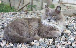 Нибелунг — описание пород котов