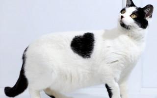 Врожденные патологии сердца у кошки