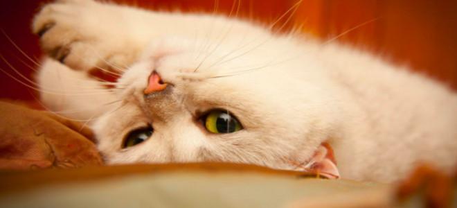 Половой цикл у кошки