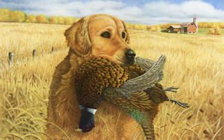 Голден ретривер (фото): Одна из умнейших пород собак