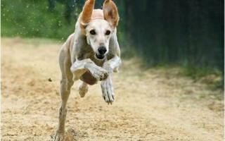 А ну-ка догони: собака играет с бизонами (видео)