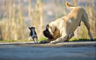 Почему маленькие собаки такие злые