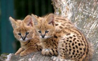 Самые дорогие породы кошек в мире; список, стоимость, описание, фото и видео