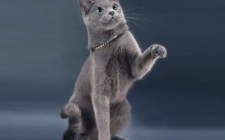 Все о породе русская голубая кошка